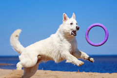 White dog on the beach. White Swiss Shepherd Dog on the beach Stock Photography