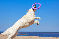 White dog on the beach. White Swiss Shepherd Dog on the beach Royalty Free Stock Photography