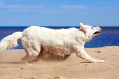 White dog on the beach Royalty Free Stock Photos