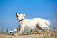 White dog on the beach Stock Photos
