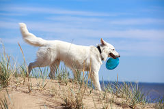 White dog on the beach Stock Image
