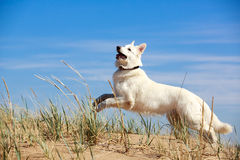 White dog on the beach Stock Image