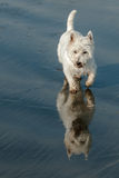 A white dog on the beach. A white West Highland Terrier is walking on the beach. He image is reflected in the sand royalty free stock photo