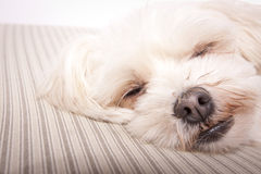 A white dog Royalty Free Stock Photography