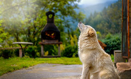 White dog. Beautiful white dog taking a sunbathe after heavy rain Stock Photo