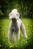 White dog, the Bedlington Terrier stands in the summer Stock Images