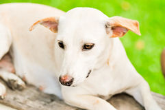 White dog. A white dog on the bench Stock Image