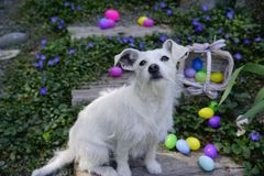 The Easter Bunny Impersonator. White dog with big ears sitting on wooden gray stairs surrounded by colorful easter eggs which are in the flowering greenery, some Royalty Free Stock Photos