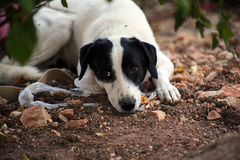 White dog with black ears waits outside Royalty Free Stock Photography