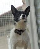 White dog with black Stock Photo