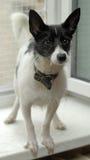 White dog with black Stock Photos