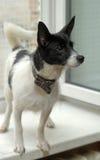 White dog with black Royalty Free Stock Photos