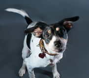 White dog with black and red spots bounces on black Stock Photos