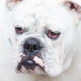 Sick dog with reddish eyes. White Dog with red eyes Stock Photos