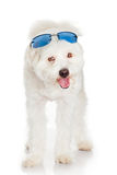 White dog with  blue sunglasses Royalty Free Stock Photography
