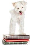 White dog on books Royalty Free Stock Images
