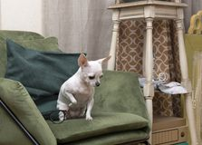 Chihuahua dog sitting on a chair in the room stock photo