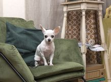 Chihuahua dog sitting on a chair in the room royalty free stock photography