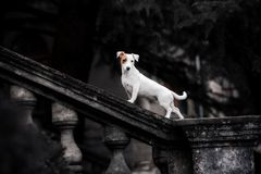 White dog breed Jack Russell Terrier on a background of black park stock image