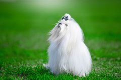 White dog breed Maltese on the grass. royalty free stock image