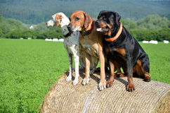 White dog, brown ridgeback and black rottweiler sit on roll of straw on green meadow.  Stock Photo