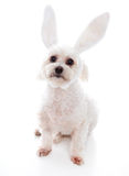 White dog with bunny ears. An alert white fluffy little dog wearing white bunny ears, suitable for humour or easter. White background stock photography