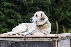 White dog on the chain lies on top of the doghouse. Labrador Retriever Royalty Free Stock Images