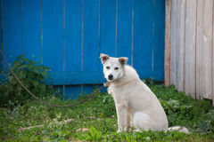 White dog on a chain Royalty Free Stock Images