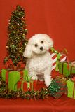 White dog and Christmas presents Royalty Free Stock Image