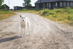 The white dog costs on the road. In the village Stock Photos