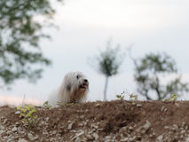 White Dog Coton de Tulear playing outdoor Stock Image