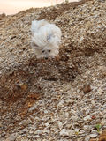 White Dog Coton de Tulear playing outdoor Royalty Free Stock Image