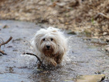 White Dog Coton de Tulear playing outdoor Royalty Free Stock Photo