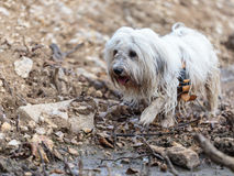 White Dog Coton de Tulear playing outdoor Royalty Free Stock Photography
