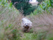 White Dog Coton de Tulear playing outdoor Royalty Free Stock Photos
