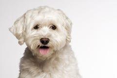 White dog Stock Photos