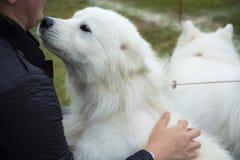 White dog Stock Images
