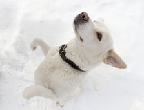 White dog dancing Stock Photography