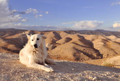 White dog in desert Stock Images
