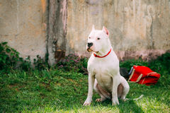White Dog Of Dogo Argentino Also Known As The Argentine Mastiff. Is A Large, White, Muscular Dog That Was Developed In Argentina Primarily For Purpose Of Big stock image