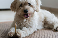 A white dog eating a dental stick Stock Images