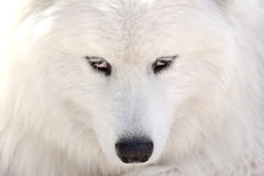 White dog face Royalty Free Stock Image
