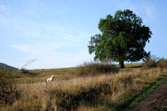 White Dog in a Field by a Tree royalty free stock images