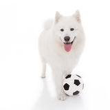 White dog with football Royalty Free Stock Photos