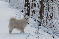 White dog on a forest trail Stock Images