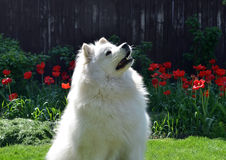 White dog. Is in the garden Royalty Free Stock Images