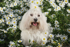 White dog in the garden - Bichon Maltese Maltese Dog Breed. White dog in the garden - Bichon Maltese Dog Breed Royalty Free Stock Images