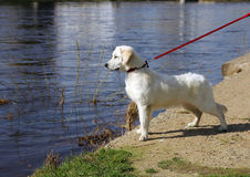 White dog golden retriever with black nose on a leash stares at Royalty Free Stock Image