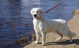 White dog golden retriever with black nose on a leash stares at Stock Photos