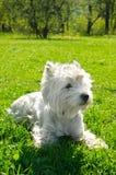 White dog stock photography
